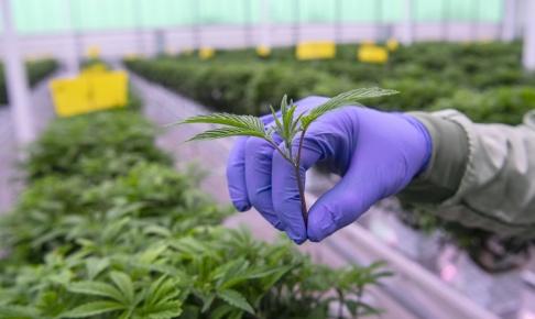 Johan Nilsson/TT Det finns ett samband mellan cannabisbruk och psykisk ohälsa, visar ny forskning. Arkivbild.