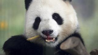 Michael Sohn/AP Photo Nu är det dags för de nyanlända pandorna att visa upp sig på Köpenhamns zoo. Den här pandan bor i Berlin. Arkivbild.