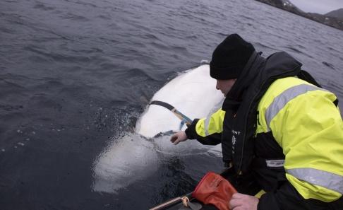 Joergen Ree Wiig Spion eller inte. Den vitval i norska Finnmark som i helgen befriades från ett hårt spänt bälte har visat sig vara både tam och tränad. Arkivbild.