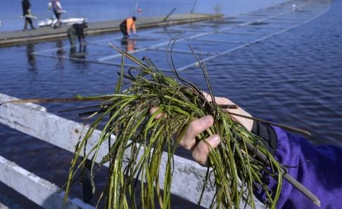 Johan Nilsson/TT Delar av förra säsongens sjögull som man rensat från platsen där ramarna skall placeras ut. Växtdelarna kan lätt bilda nya kolonier.