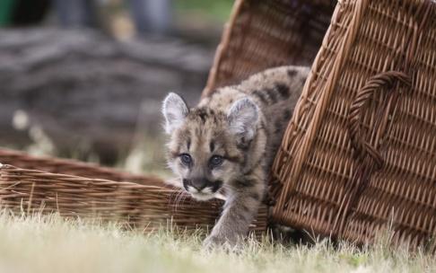 Gero Breloer/AP/TT Ett stort kattdjur har siktats i skogarna runt danska Vejle. Kanske en puma? Pumaungen på bilden hör dock hemma i Berlin. Arkivbild