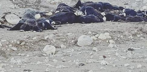 AP/TT Nära 300 jakar har dött av svält i nordöstra Indien. Bilden har distribuerats av lokala myndigheter.