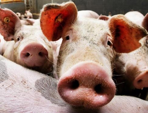 Michael Probst/AP Miljontals vietnamesiska grisar tros ha smittats av afrikansk svinpest. Arkivbild.