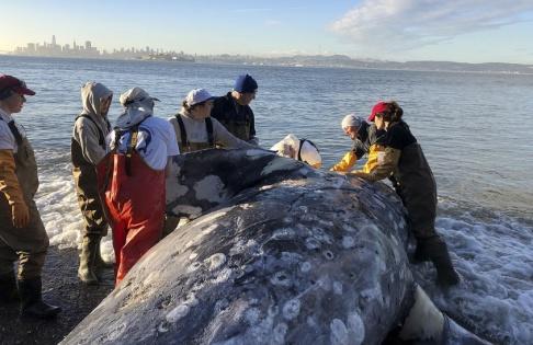 Cara Field/The Marine Mammal Center/AP/TT En strandad, död, gråval undersöks av experter på en strand i Kalifornien. Bilden är från den 12 mars i år.