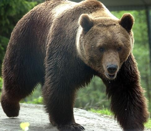Fredrik Sandberg / TT En björn har blivit påkörd av ett tåg i Dalarna. Arkivbild.