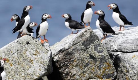 Robert F Bukaty/AP/TT Lunnefåglar på en ö utanför USA:s östkust. Dessa är av samma släkte, men inte av precis samma art, som de fåglar som drabbats i Berings hav. Arkivbild från 2014.