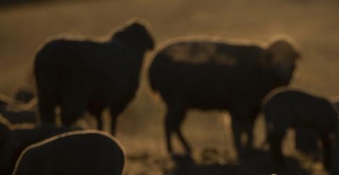 Sebastian Gollnow/AP/TT En person tros ha blivit bestulen på sina lamm. Arkivbild.