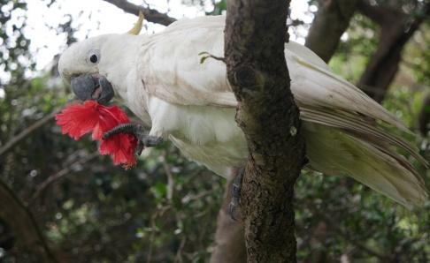 Johanna Engman/TT En kakadua i Australien, dock inte av den drabbade arten Långnäbbad kakadua. Arkivbild.
