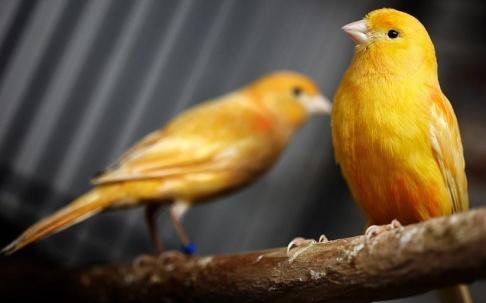 Fredrik Persson/TT En 17-åring och hans lärare döms för att ha stulit ett 40-tal kanariefåglar. Fåglarna var av en annan art än de på bilden. Arkivbild.