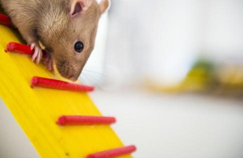 Emil Langvad/TT SLU vill se ett nytt djurförsökscenter för att optimera försöken, menar de. Arkivbild.