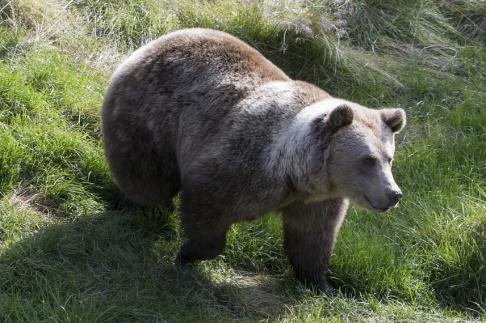 Berit Roald/NTB scanpix/TT Under årets björnjakt i Västerbottens län får 21 björnar fällas. Arkivbild.