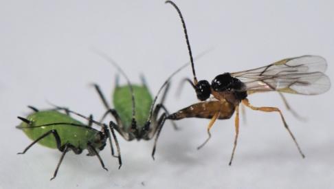 Dirk Sanders En parasitstekel attackerar och lägger ägg i två bladlöss. Dess larver äter sedan upp bladlössen inifrån medan dessa ännu lever.