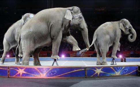 Bill Sikes/AP/TT Elefanter på Ringling Bros and Barnum&Bailys cirkus i maj 2016. Sista föreställningen innan de, som sina danska kollegor, fick gå i pension. Arkivbild.