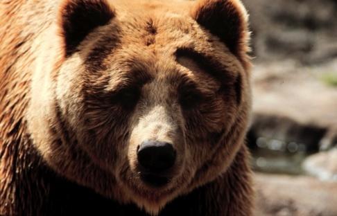 Janerik Henriksson/TT En annan björn. Arkivbild.