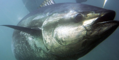 CHRIS PARK/AP En blåfenad tonfisk (Thunnus thynnus). Arkivbild.