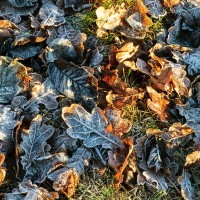 _ADI9227-Frostiga Löv