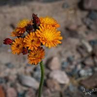 _6040265-blomma