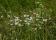 _ADI5710-Sommarblommor prästkragar på ängen