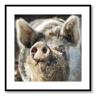 Nöjd gris