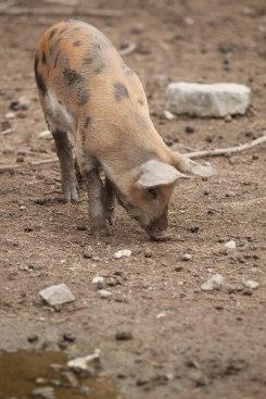 Förmodat lycklig gris