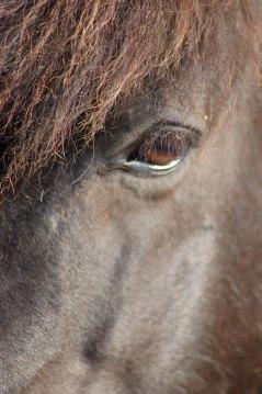 Även hästar kan få öonproblem