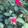 Mina egna rosor