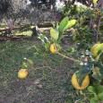 Mina egna citroner