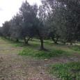 Får på bete bland olivträd
