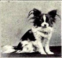 Papillon från 1915