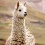 Enna, stickad halsduk i alpacka ljusgrå