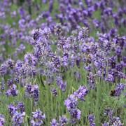 Lavendel eterisk olja EKO 10 ml