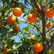 Apelsin eterisk olja EKO