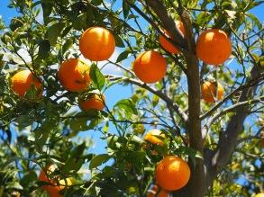 Apelsinskal eterisk olja EKO 10 ml