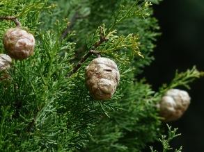 Cypress eterisk olja EKO 5 ml