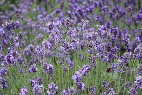 Lavendel eterisk olja EKO