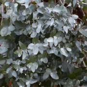 Eucalyptus globulus eterisk olja EKO 10 ml
