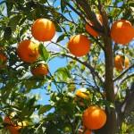 Apelsin frukt