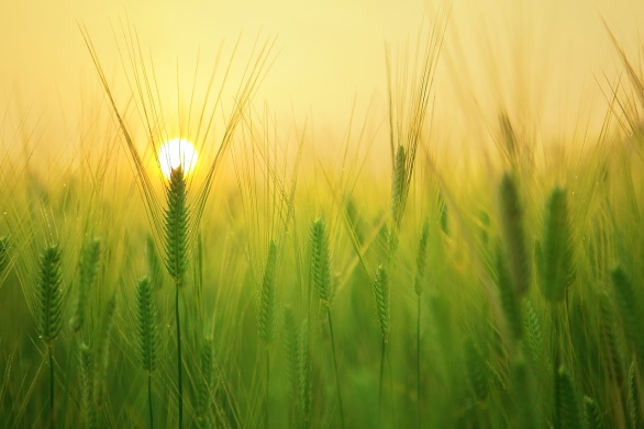 Ett sädesfält i solnedgång ger ro.