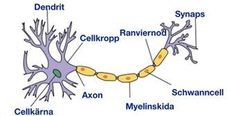 Grovstruktur för en typisk nervcell, neuron.  Antalet neuron i hjärnan beräknas till ca 100 miljarder. Det finns ett stort antal olika neuron, olika till utseende och funktion beroende på var i nervsystemet de finns; de delas upp i sensoriska neuron, interneoron och motorneuron. Källa Wikipedia