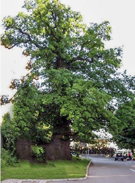 Under ekens djupa grönska....Eken kallas Den Gamle och sägs ha 500-600 år på nacken. Skolhuset, granne med eken, tillhör kvarteret Eken. Landsvägen är en del av första Kungsvägen till Drottningholm. Den var sex meter bred och 17 km lång och gick via Carlberg, Solna kyrka och över Bällsta bro och sen i en böj genom Bromma till  Tyska Botten för färja till Lovön. Det fanns inga sundbybergare som  stod och hurrade då Drottningen Hedvig Eleonora och sedermera  Gustav III kom farande med vagn och följedrabanter. Här var ju jordbruksbygd med herrgårdsjordar och arrendebönder, hemman och torp. Eken och marken som skolhuset står på tillhörde en gång Sundbybergs Gård vars sista ägare var Anders Petter Löfström och hans mycket duktiga hustru Emma som båda kan kallas Stadens grundare. - Foto: Hans Christer Pränting, Sundbyberg