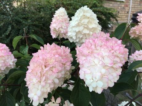 Underbara blommor på Prästgårdsgatan den 15 augusti - fastighetsplanterade.