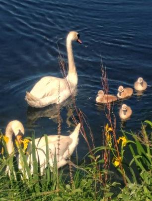 Lötsjöns svanpar med ungar.