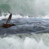 Fågel-flyger-strax-ovanför-vågorna