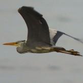 Den 18 april 2018. Hägrar dyker upp emellanåt i Fågelviken, här en flygande.