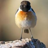 Den 31 mars 2018. En svarthakad buskskvätta har varit i Fågelviken i flera dagar. En raritet. Förmodligen stannade den på grund av mycket föda i tångvallarna längst in i viken.