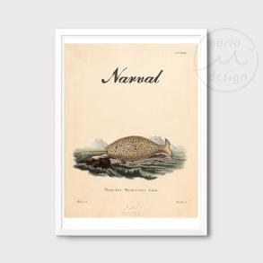 Antik illustration - Narval
