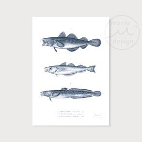 Illustration - Torskfiskar - Illustration - Torskfiskar,  A5