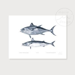 Illustration - Tonfisk och makrill - Illustration - Tonfisk och makrill,  A5