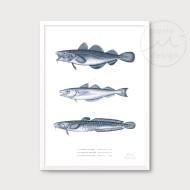 Illustration - Torskfiskar