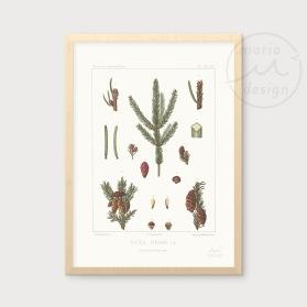 Illustration - Gran och kottar